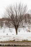 Leafless trees on the ground that covered with snow near Fukidashi Park in Hokkaido, Japan.  Royalty Free Stock Image