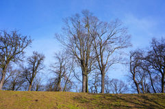 Leafless trees. Group of leafless trees on a grass hill stock image