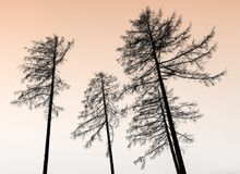 Leafless trees in silhouette reach into a cool orange evening twilight sky on a cold winter night. In the forests above Maienfeld in Switzerland royalty free stock photo