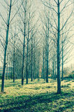 Leafless trees. Some trees without leaves at morning in a park. Leafless trees stock image