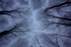Leafless trees under dark sky. Leafless trees shot from bottom to top in the winter forest under dark blue-violet sky stock image