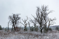 Leafless trees on winter meadow Royalty Free Stock Image