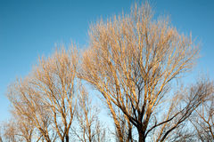 The leafless trees in winter Stock Photo