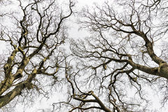 Leafless Treetops. Picture on treetops with leafless trees royalty free stock photo