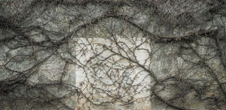 Leafless vine melancholic background. Old wall covered with leafless vine in early spring stock photo