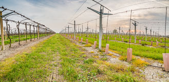 Leafless vineyards near young seedlings Stock Photo