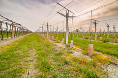 Leafless vineyards near young seedlings Royalty Free Stock Photo