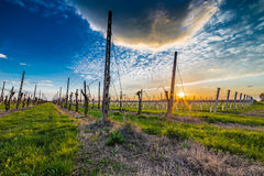 Leafless vineyards organized into files Royalty Free Stock Images