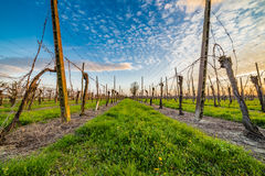 Leafless vineyards organized into files Stock Photos