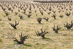 Leafless vineyards Royalty Free Stock Images