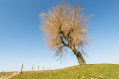 Weeping willow with yellow branches Stock Image