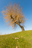 Leafless weeping willow with yellow branches Stock Photography