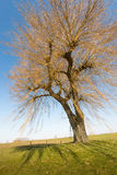 Leafless weeping willow in sunlight Royalty Free Stock Photography