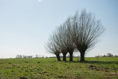 Leafless willow trees growing on a green meadow. Horizon and sky stock images
