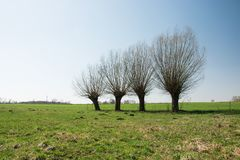 Leafless willow trees growing in row on a meadow. Leafless willow trees growing in a row on a green meadow, horizon and blue sky royalty free stock photography