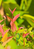Leaflet of Ixora coccinea Stock Images