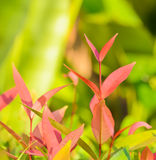 Leaflet of Ixora coccinea Stock Photo