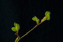 Leaflets, American elm (Ulmus americana) Royalty Free Stock Images