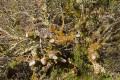 Leaflike Lichen and moss growing on dead branches in forest at C Stock Photos