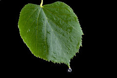 Leaflinden fotografering för bildbyråer