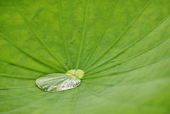 leaflotusblomma Royaltyfria Foton