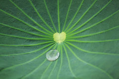 leaflotusblommayttersida Royaltyfri Foto