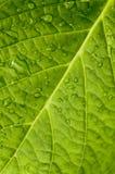 leafmakro Royaltyfri Bild