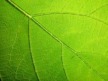 leafmakro Royaltyfri Fotografi