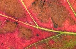 leafmakro Arkivfoton