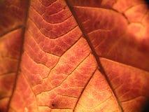 leafmakro Fotografering för Bildbyråer