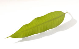 leafmango Royaltyfri Foto