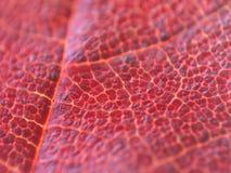 leafmapple Royaltyfri Bild