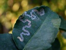 Leafminer choroby Zdjęcia Royalty Free