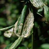 Leafminer sjukdomar Arkivbild
