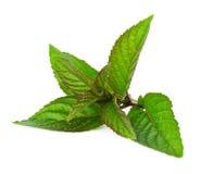leafmint Royaltyfri Foto