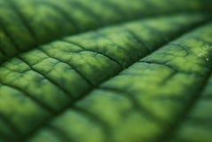 leafmodell Arkivfoto