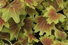 leafmodell Arkivbilder