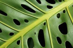 leafmonstera royaltyfri fotografi