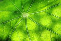 leafnasturtium Royaltyfri Fotografi