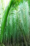 leafnipahpalmträd Arkivfoto