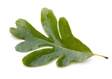 leafoak Royaltyfri Fotografi