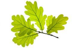 leafoak Arkivbild