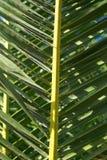 leafpalmträd Royaltyfria Bilder