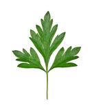 leafparsley Royaltyfria Bilder