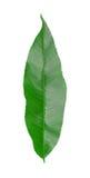 leafpersika Royaltyfria Bilder