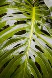 leafphilodendronsplit arkivfoton