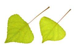 leafpoplar Royaltyfri Foto
