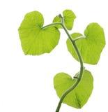 leafpumpa arkivfoton