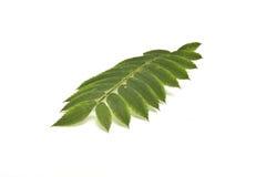 leafrönn Fotografering för Bildbyråer