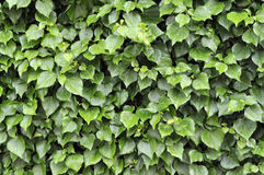leafraindrops Royaltyfri Fotografi